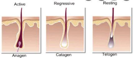 tóc thường rụng nhiều vào giai đoạn telogen
